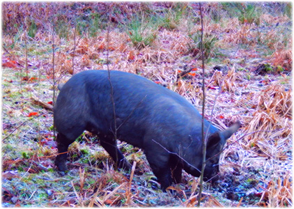 This girl is a gorgeous Berkshire pig and she's rooting for bullrushes.